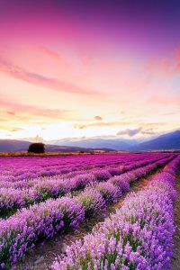 Lavender fields in the Thracian Valley (Central Bulgaria)